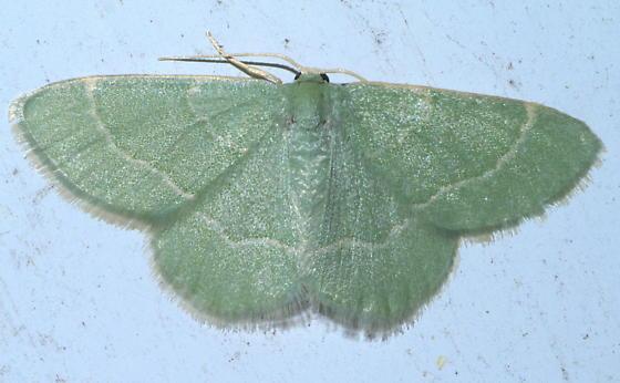 Green geometrid moth - Chlorochlamys phyllinaria - female