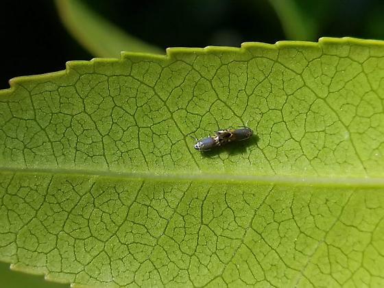 Coptodisca arbutiella