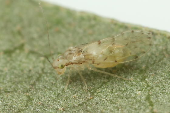 Barklouse - Trichopsocus dalii