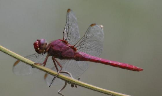 male Carmine Skimmer, stage left - Orthemis discolor - male
