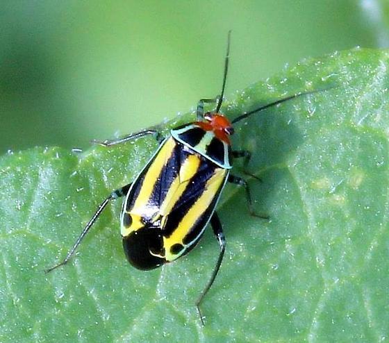 Poecilocapsus lineatus - Four-lined Plant Bug - Poecilocapsus lineatus