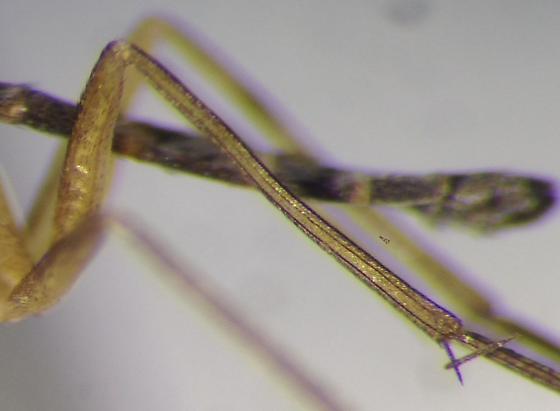 New Genus - Euceroplatus - Setostylus - female