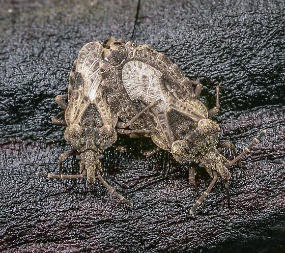 Aradids - Aradus proboscideus - male - female