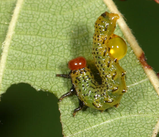 Birch Sawfly--with defensive secretion - Arge pectoralis
