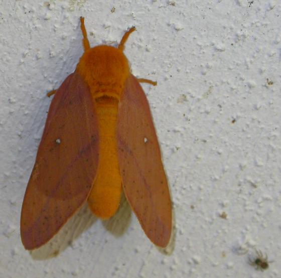 Consular oakworm moth