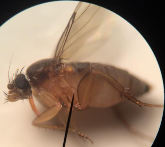 Fly - Dohrniphora