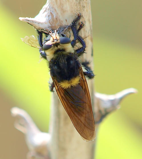 What kind of robber fly is this? view 2 - Mallophora fautrix