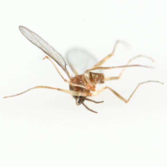 Lasioptera - male