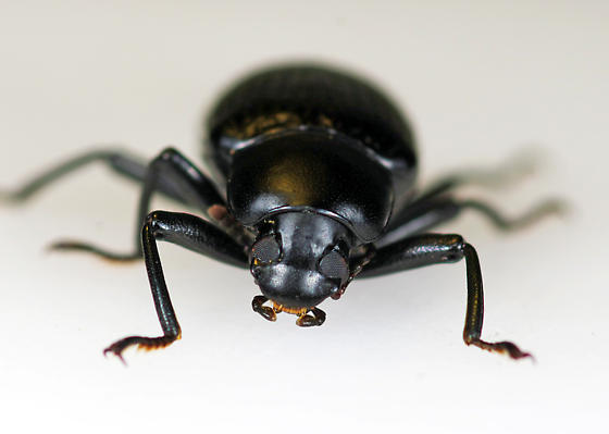 Darkling Beetle - Glyptotus cribratus