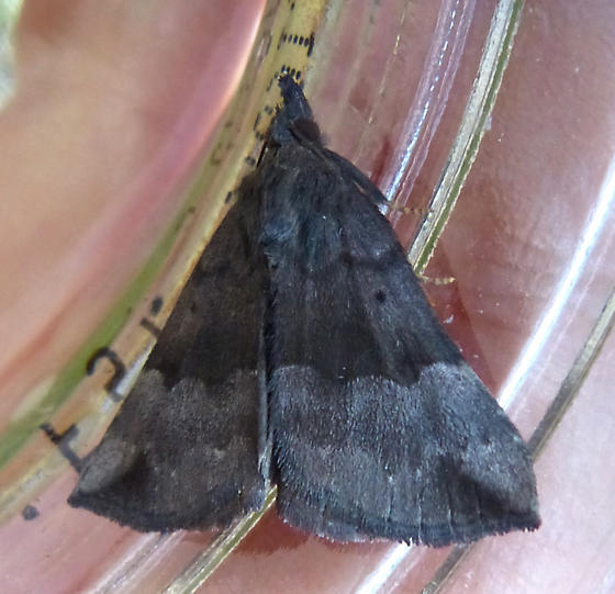 Gray-edged Bomolocha - Hypena madefactalis - male