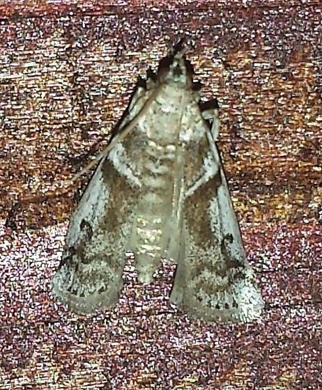 Amyelois transitella