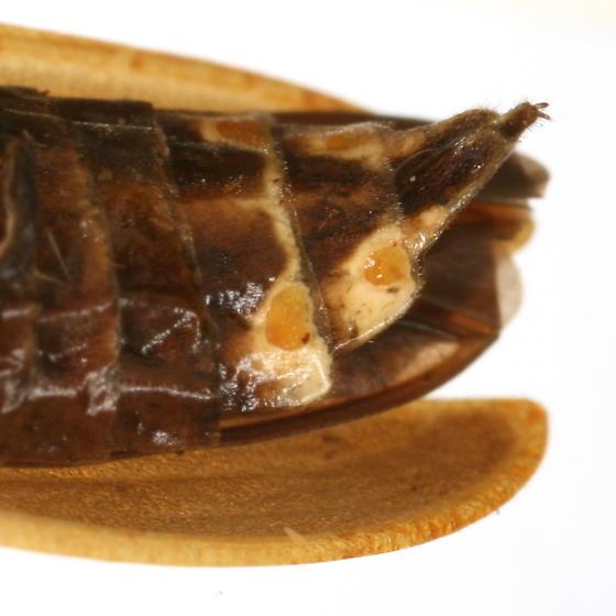 Pyractomena punctiventris (LeConte) - Pyractomena punctiventris