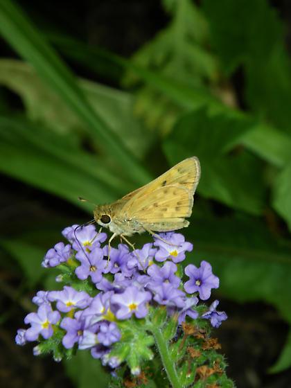 skipper 3 - Hylephila phyleus