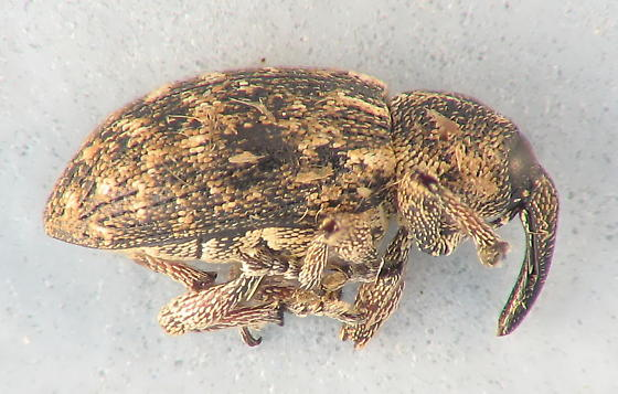 small weevil - Smicronyx