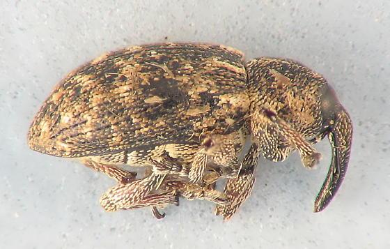 small weevil - Smicronyx