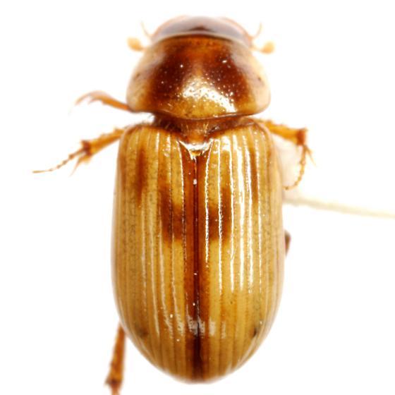 Aidophus parcus (Horn) - Aidophus parcus