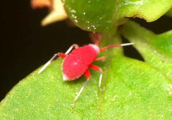 Miridae Nymph? - Coccobaphes frontifer