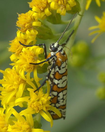 Ailanthus Webworm Moth - Atteva aurea