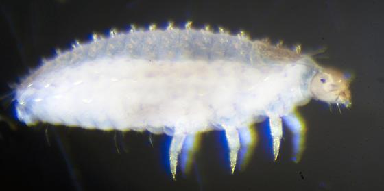 Unknown larva