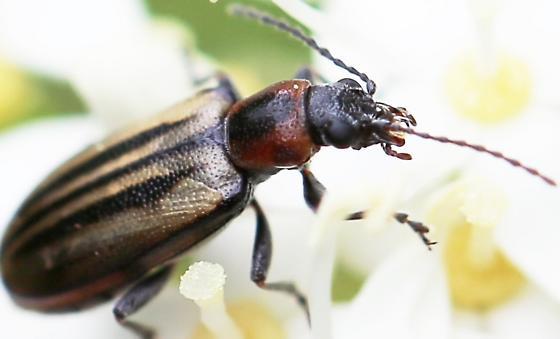 Leaf Beetle (Chrysomelidae) - Orsodacne atra