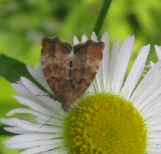 Species Choreutis pariana - Apple Leaf Skeletonizer Moth - Hodges#2650? - Choreutis pariana