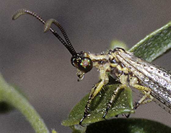 Antlion male with short wings - male