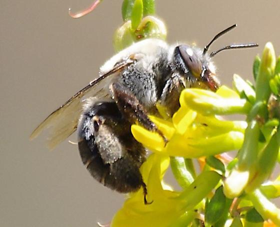Fuzzy Bee - Centris