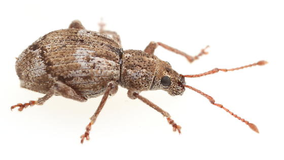 Weevil - Sciopithes obscurus