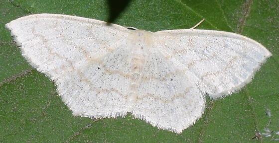 Moth (white and cream)