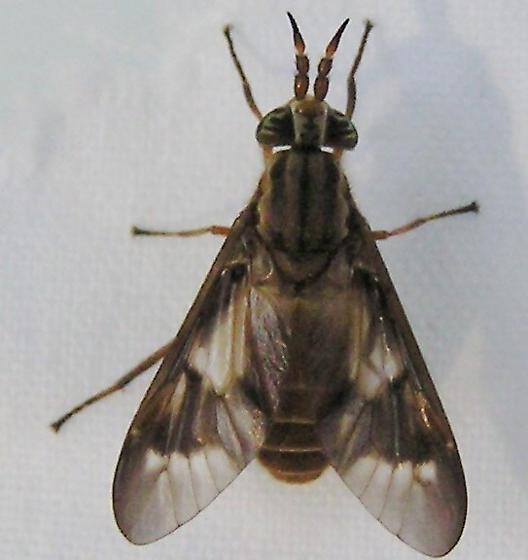 Deer fly? - Chrysops - female