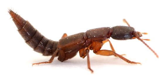 Rove beetle from upland oak leaf litter - Achenomorphus corticinus