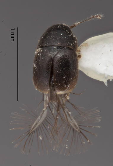 Coleoptera 11