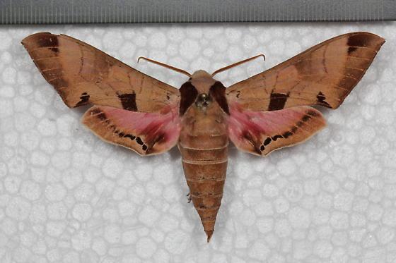 Hawk moth - Eumorpha achemon