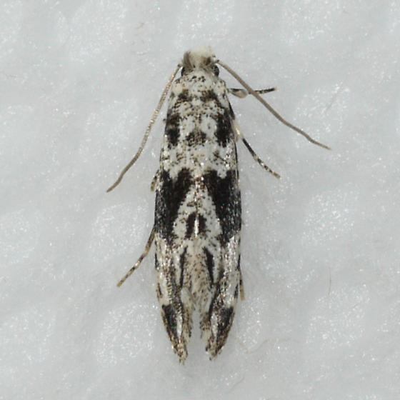moth - Nemapogon