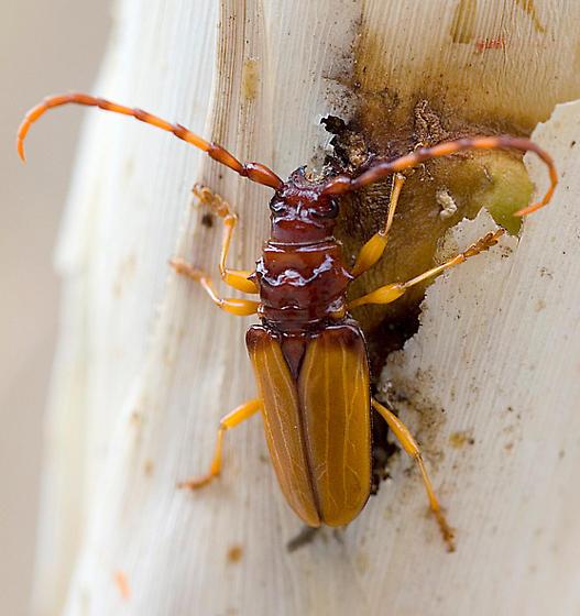 Trachyderes? - Dendrobias mandibularis - female