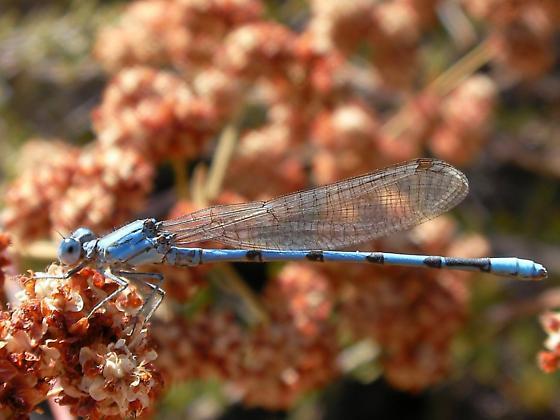 SD Damsel - Argia agrioides - male