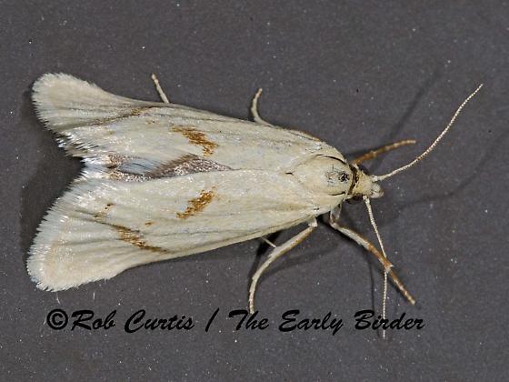 6027646 moth - Pelochrista biplagata