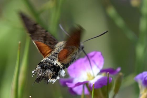 Hummingbird Hawk Moth (Macroglossum stellatarum) - Macroglossum stellatarum