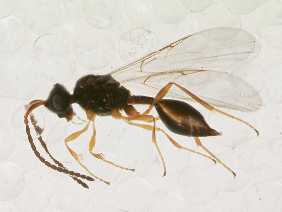 Diapriidae - Aclista