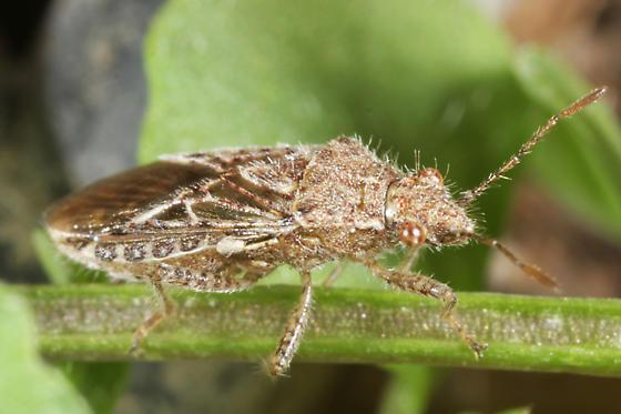unknown Hemipteran - Arhyssus scutatus