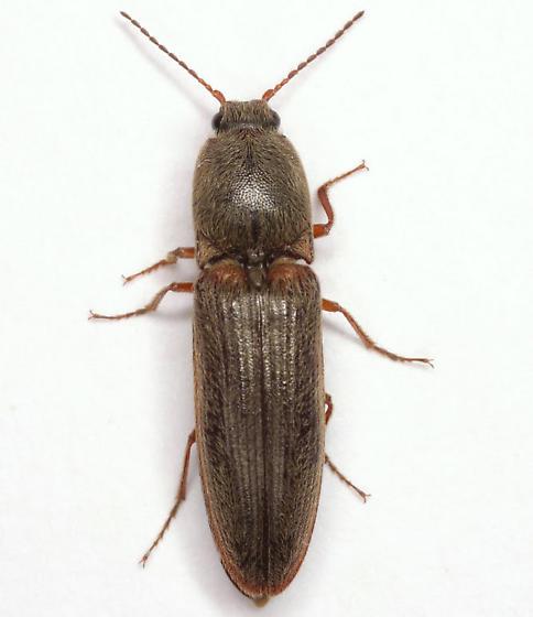 Limonius griseus (Beauvois) - Limonius griseus