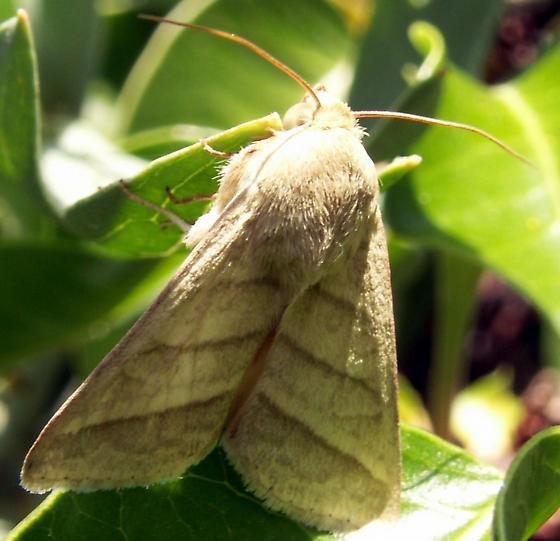 Heliothis? - Chloridea virescens