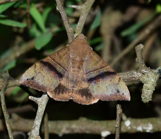 Ophisma tropicalis