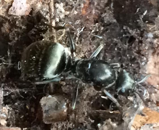 What type of ant? - Formica subsericea
