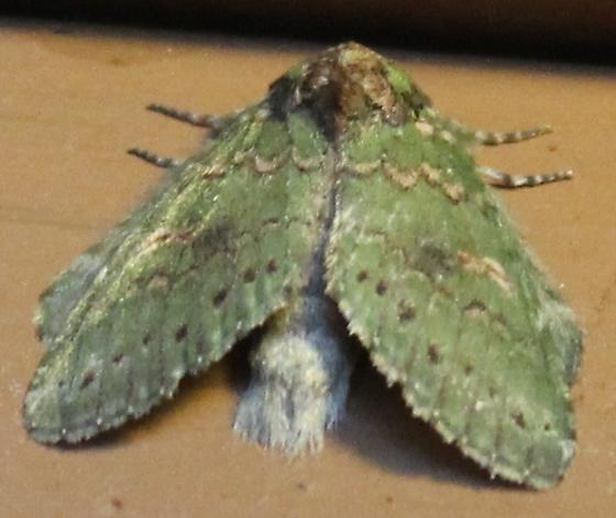 Moth #36 Heterocampa biundata? - Heterocampa biundata