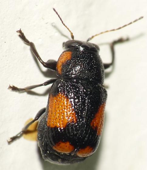 Case-bearing Leaf Beetle - Pachybrachis subfasciatus
