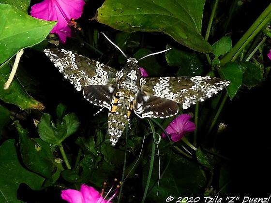 Definite ID wanted - Moth - Manduca rustica
