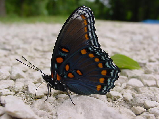 Red Spotted Purple butterfly on stones - Limenitis arthemis