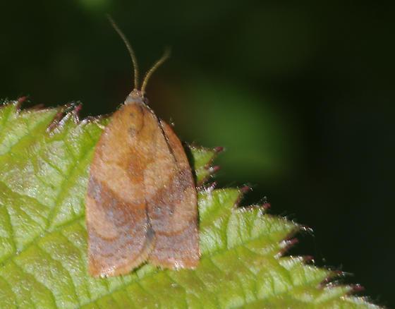 Unidentified moth - Cacoecimorpha pronubana