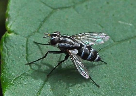 B & W Fly - Paradidyma singularis